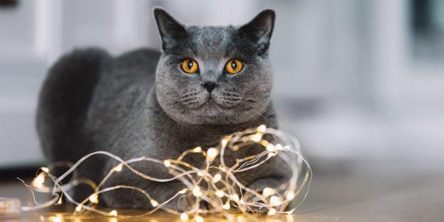 Большие породы кошек: британская короткошёрстная кошка