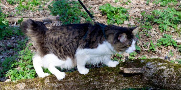 Большие кошки: бобтейл курильский