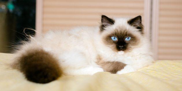Большие породы кошек: рэгдолл