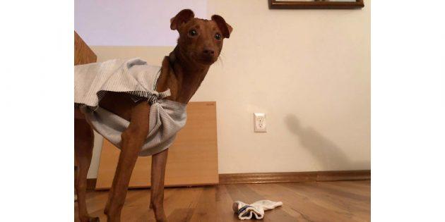 собака Добби