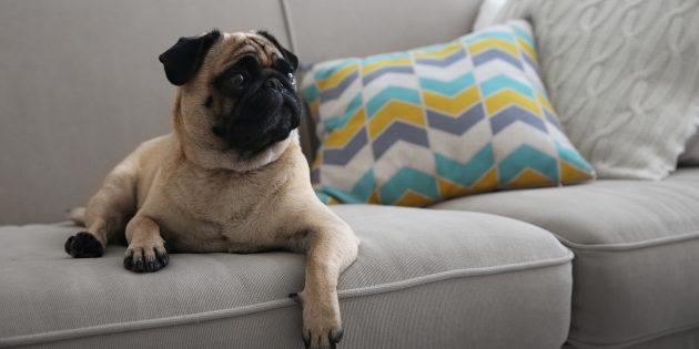 собаки для квартиры: мопс