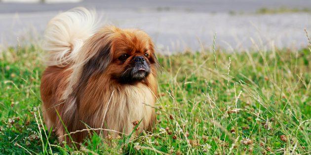 породы собак для квартиры: пекинес
