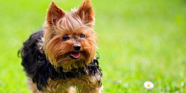 породы собак для квартиры: йоркширский терьер