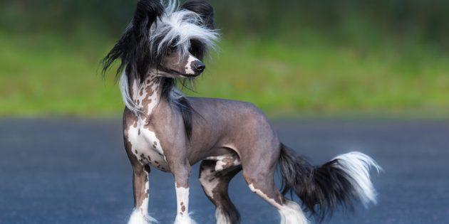собаки для квартиры: китайская хохлатая собака