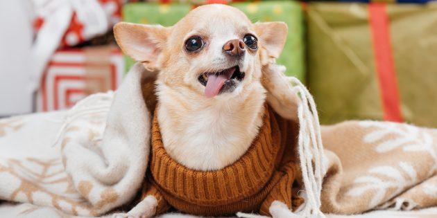 маленькие собаки: чихуа-хуа