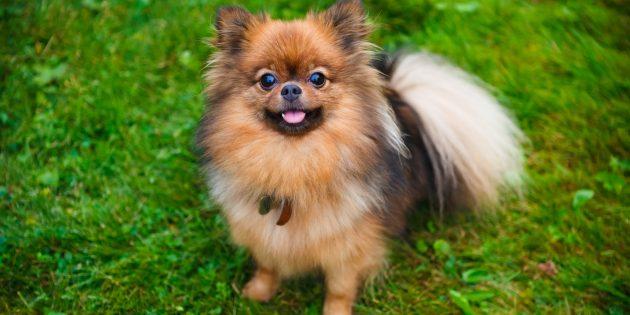 породы собак для квартир: померанский шпиц