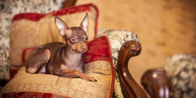 собаки для квартиры: той-терьер