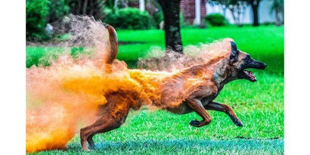 собака в порошке Холи