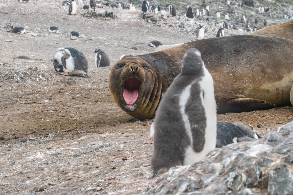 Антарктика: фото морского слона