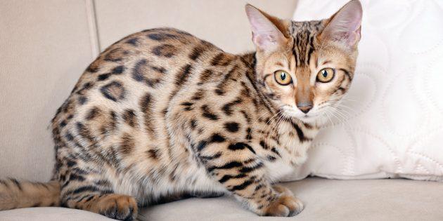 Бенгальская кошка | Отзывы покупателей | 315x630