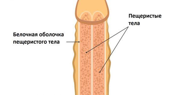 перелом члена