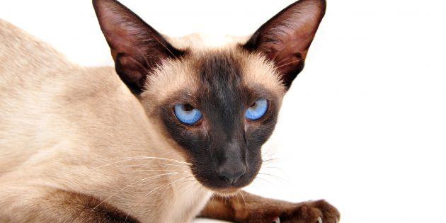 Чтобы сиамская кошка не нервничала, с детства приучайте её к стрижке когтей и другим процедурам