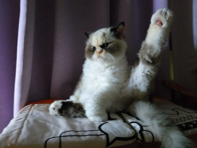 новая сердитая кошка