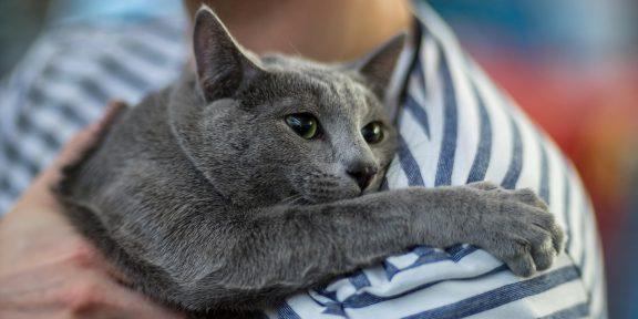 Что нужно знать, прежде чем завести русскую голубую кошку