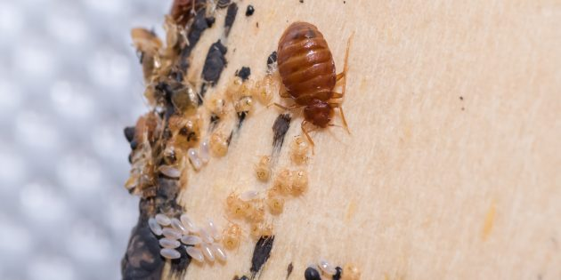Как избавиться от клопов: ищите в укромных местах яйца, шкурки и экскременты насекомых