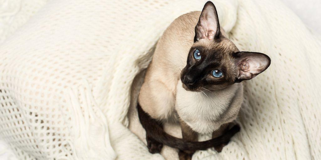 Как ухаживать за сиамским котенком 2 месяца. Питание и уход за сиамскими кошками