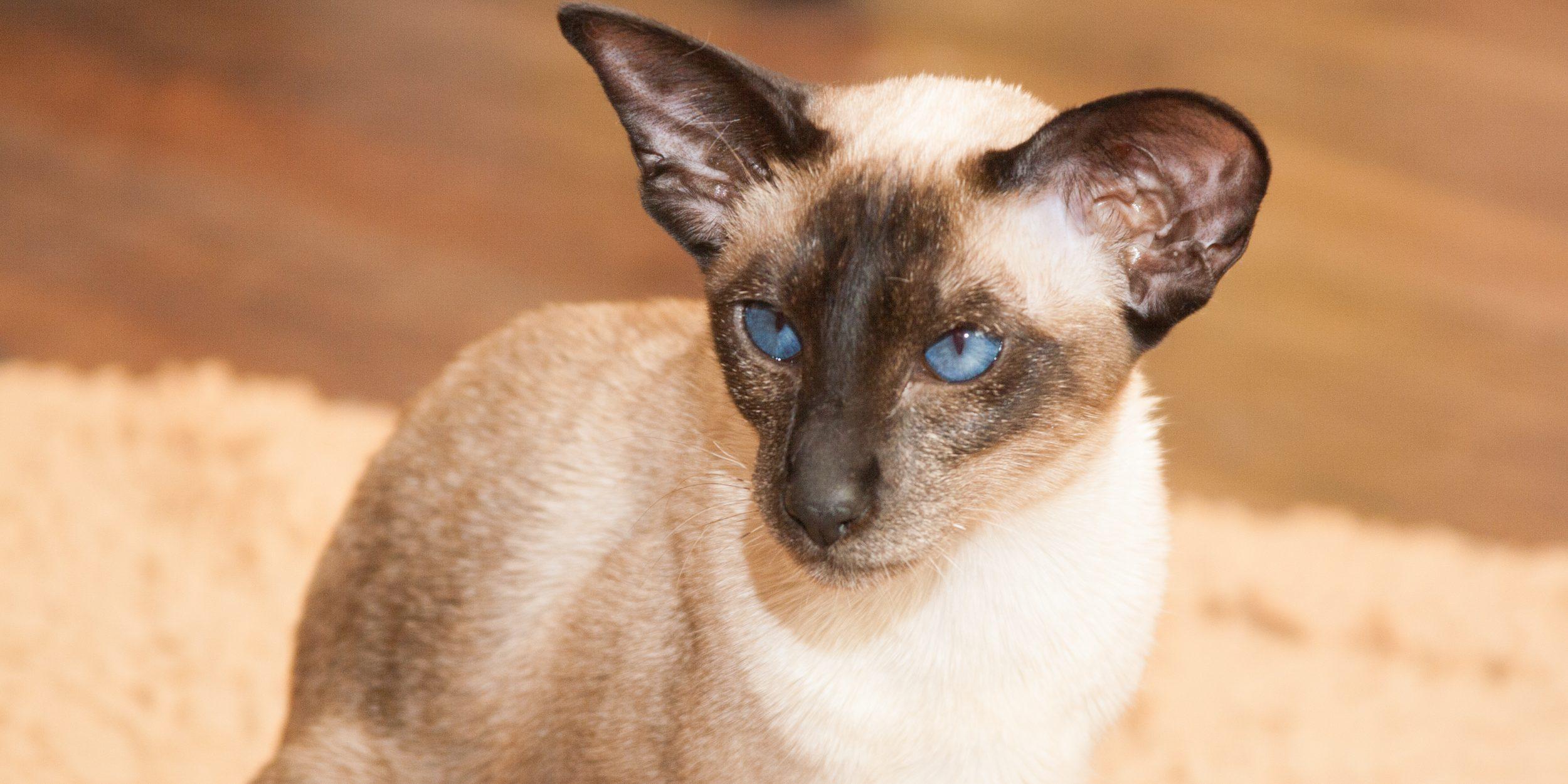 Сиамские кошки любопытны и с интересом наблюдают за всем, что происходит вокруг