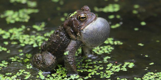 Заблуждения о поведении животных: от лягушек и жаб бывают бородавки
