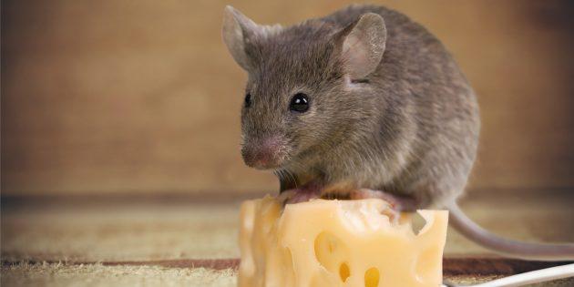 Заблуждения о поведении животных: мыши обожают сыр