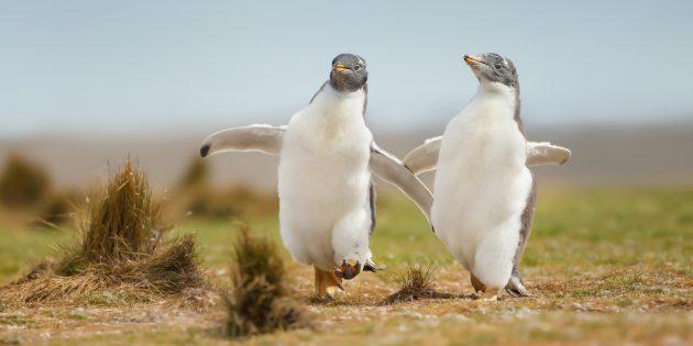 Заблуждения о поведении животных: пингвинов надо переворачивать