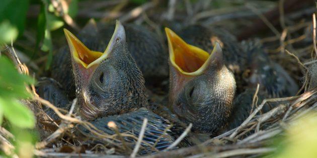 Заблуждения о поведении животных: птица откажется от птенцов, если их потрогал человек