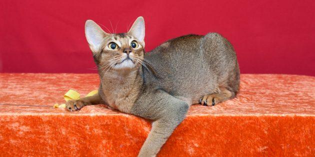 Абиссинская кошка: характер