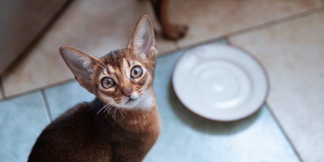 Чем кормить абиссинских кошек