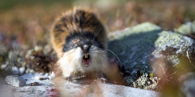 Заблуждения о поведении животных: лемминги массово сбрасываются со скал
