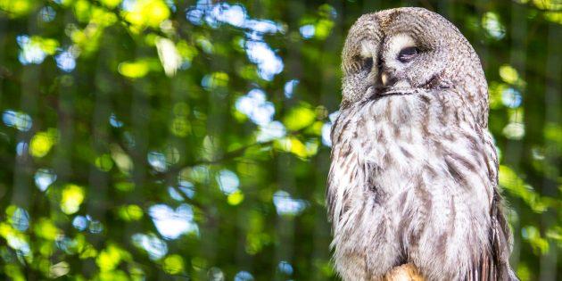 Заблуждения о поведении животных: совы могут поворачивать голову на 360°