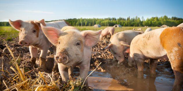 Заблуждения о поведении животных: свиньи — грязнули