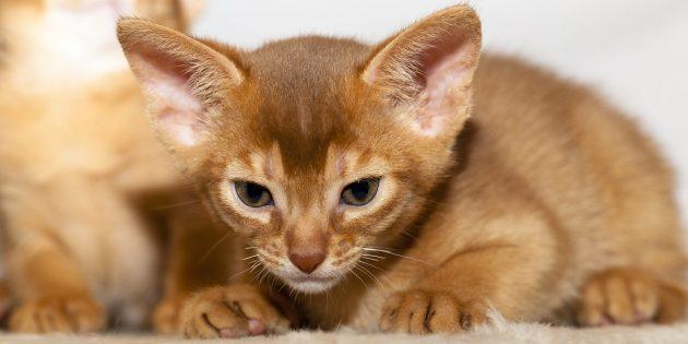 Котёнок абиссинской кошки