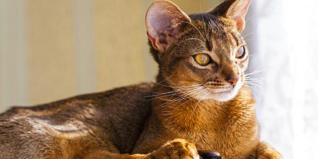 Абиссинская кошка: фото
