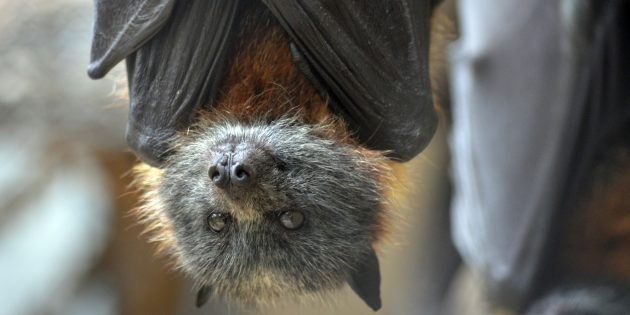 Заблуждения о поведении животных: летучие мыши слепы и пьют кровь
