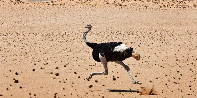 Заблуждения о поведении животных: страусы прячут голову в песок