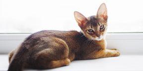 Как заботиться об абиссинской кошке, чтобы она росла красивой и здоровой
