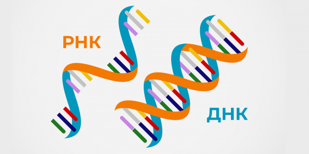 Как сделать тест на коронавирус: РНК и ДНК