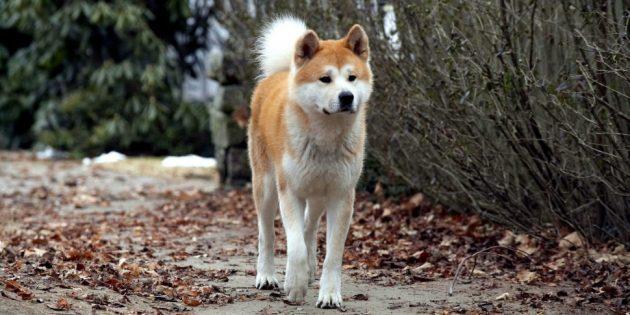 Фильмы про животных: «Хатико: Самый верный друг»