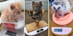 От коал до лягушек: как взвешивают разных животных