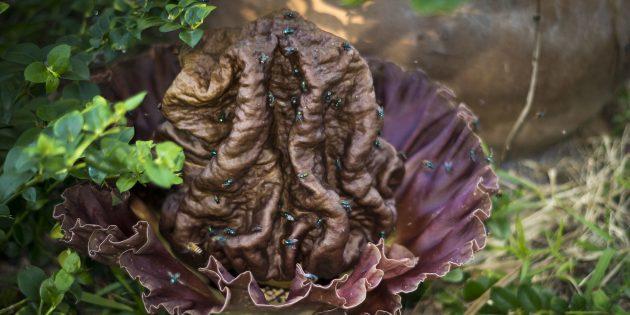 Необычные растения: Аморфофаллус пионолистный