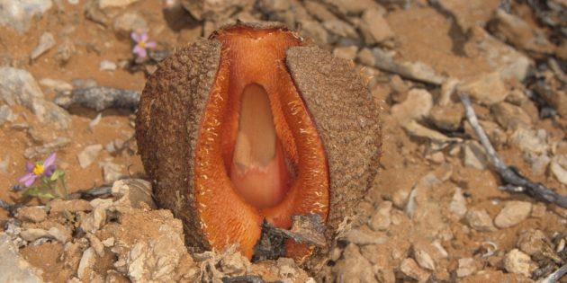 Необычные растения: Гиднора