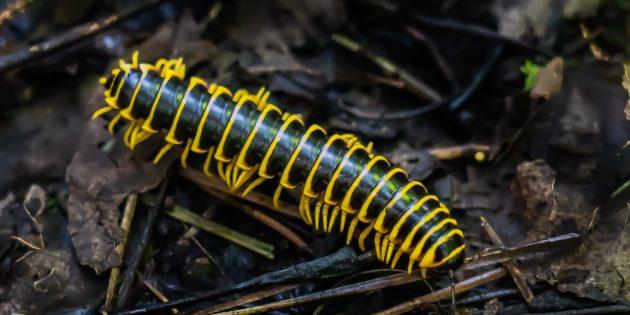 Необычные животные: многоножка Apheloria polychroma