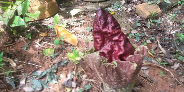 Необычные растения: слоновый ямс