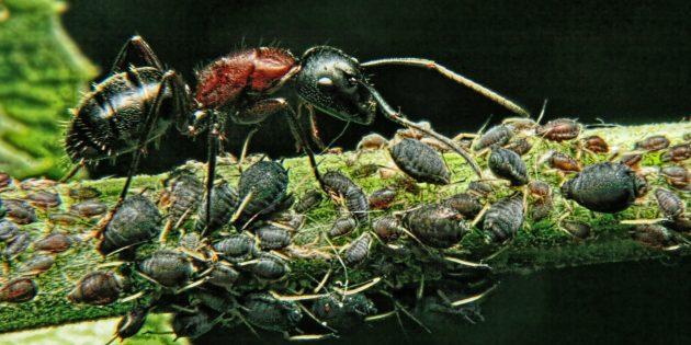 Заблуждения и интересные факты о животных: самое сильное существо в мире — муравей