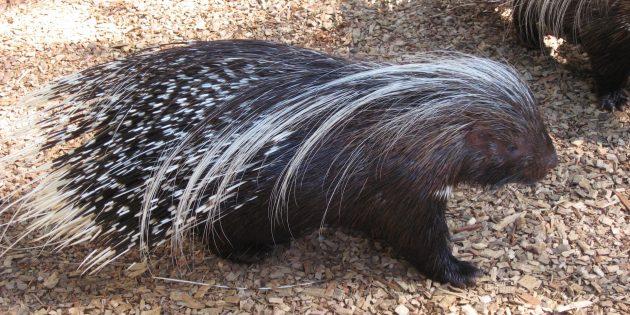 Заблуждения и интересные факты о животных: дикобразы стреляют иглами