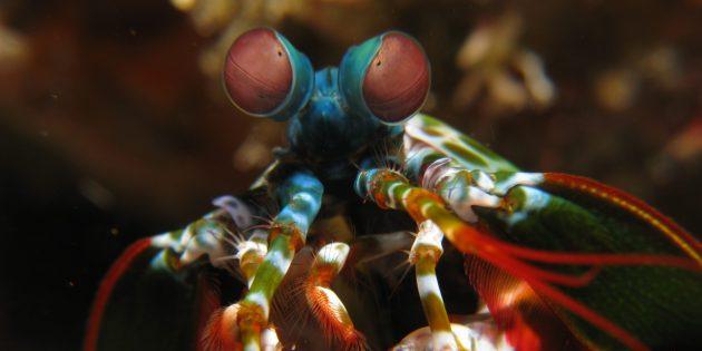 Необычные животные: рак-богомол (Squilla mantis)