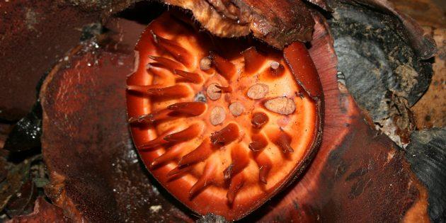 Необычные растения: Аморфофаллус