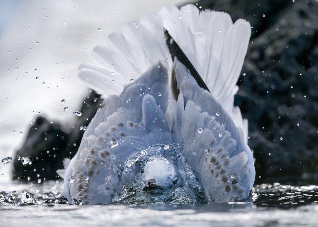 Красивые фотографии: «Красноногая чайка купается», Саймон Рантинг
