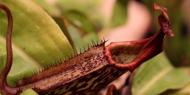 Необычные растения: Кувшиночник