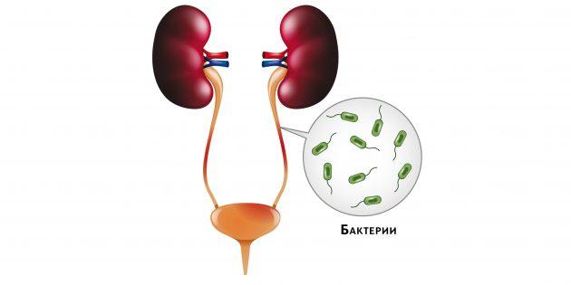 При пиелонефрите бактерии попадают в почки