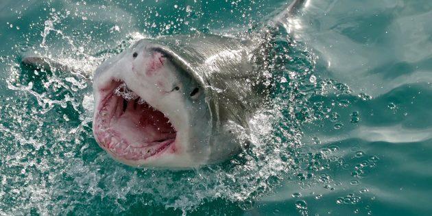 Популярные заблуждения: акулы нападают на людей по ошибке